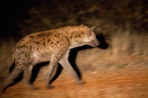 Hyena on old airstrip by Jason Truscott