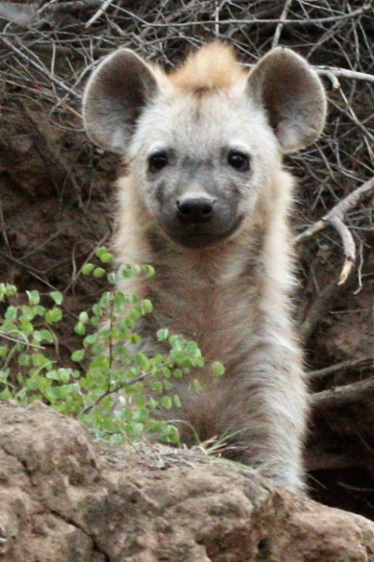 Hyena pup at Secret Valley den by Chelsea B1