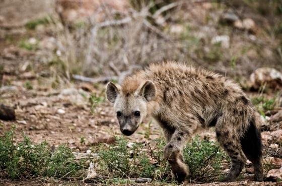 Hyena pup by Dan B33