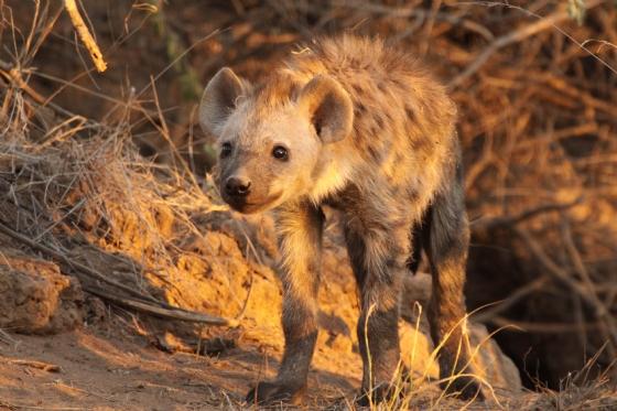 Hyena pup by Graham B2