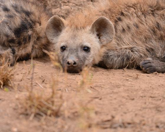 Hyena pup by Mally A5