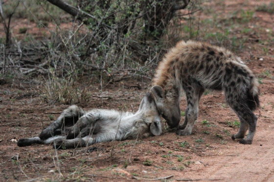 Hyena pups greeting at Secret Valley den by Chelsea B1