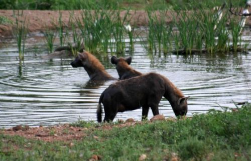 Hyenas swimming in Kudu pan by Analia and Richard