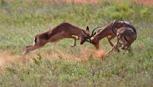 Impala Fighting by Jock Mckenzie