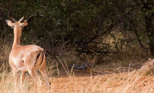 Impala and black backed jackal by Jason Truscott