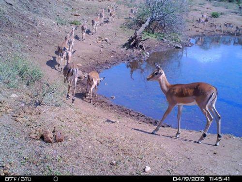 Impala on camera trap