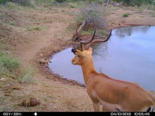 Impala ram at Wildebeeste dam