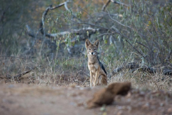 Jackal at Kudu Pan by B36