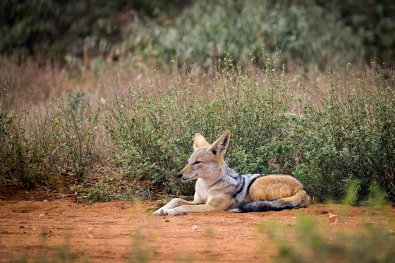 Jackal on South Airstrip by Dan B33