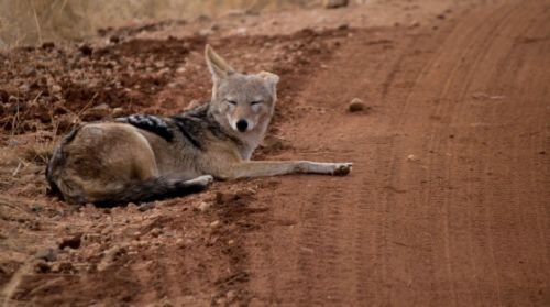 Jackal resting up by Jason Truscott 2
