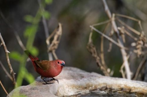 Jamesons Firefinch by Manuel Lopes