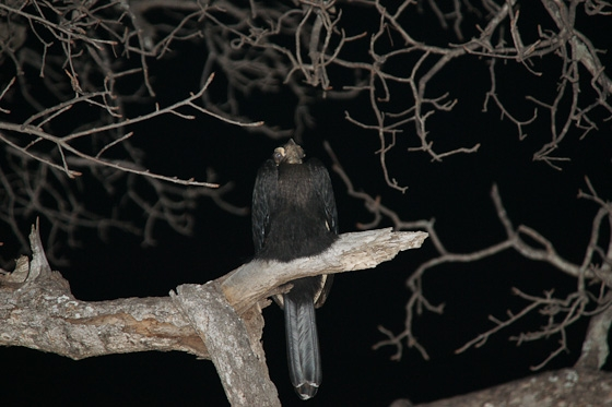 Juvenile ground hornbill by James B21