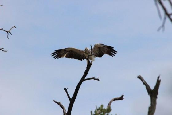 Juvenile martial eagle byTamara A8