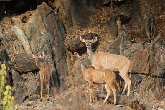 Kudu by Kenny B7