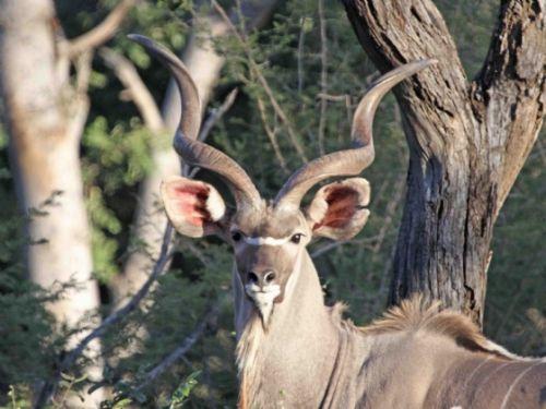 Kudu by Nic Holzer