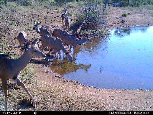 Kudu herd at Wildebeeste