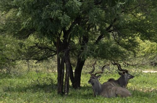 Kudu resting by Manuel Lopes
