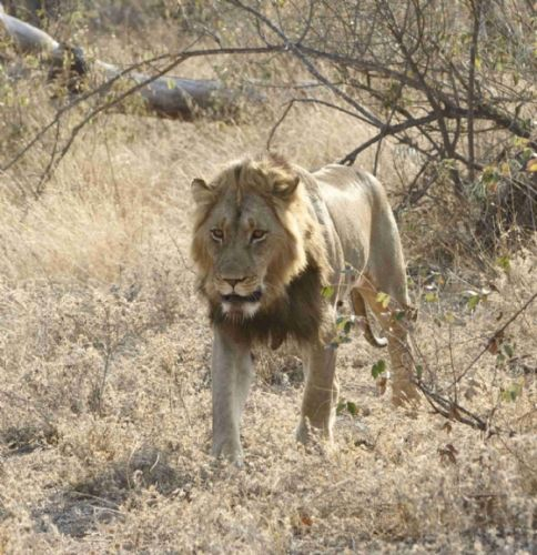 Kuifkop our male lion by Chelsea Stroobach