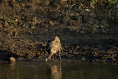 Lactating hyena by Roy Markham