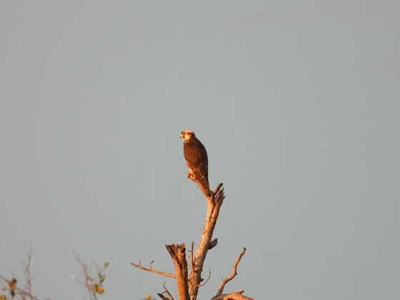 Lanner falcon in the distance by Roy A8