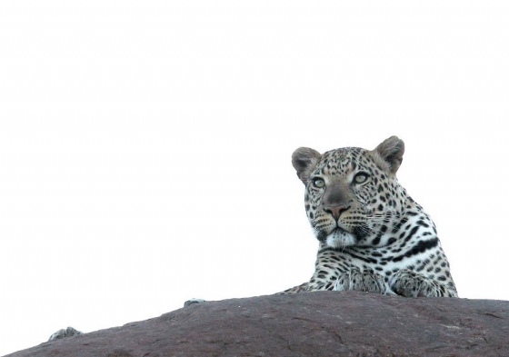 Leopard @ Old Airstrip by Simon B19 (3)