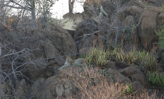 Leopard @ Old Airstrip by Simon B19 (5)