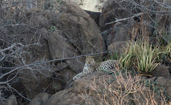 Leopard @ Old Airstrip by Simon B19 (6)