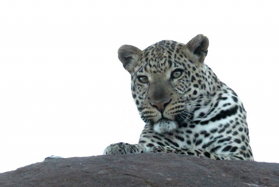 Leopard @ Old Airstrip by Simon B19