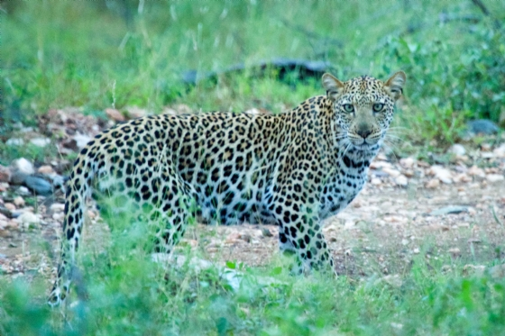 Leopard a by Truscott B5