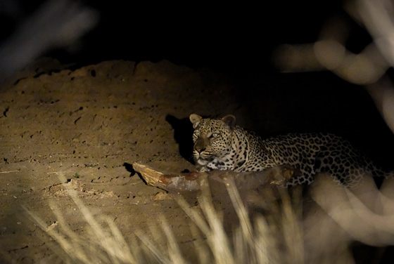 Leopard at Double Dam by Dan B33