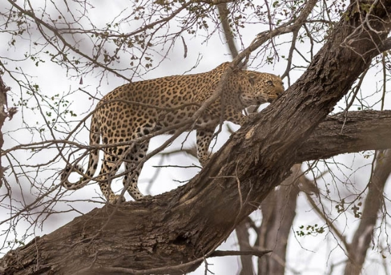 Leopard at Old Airstrip by David A9
