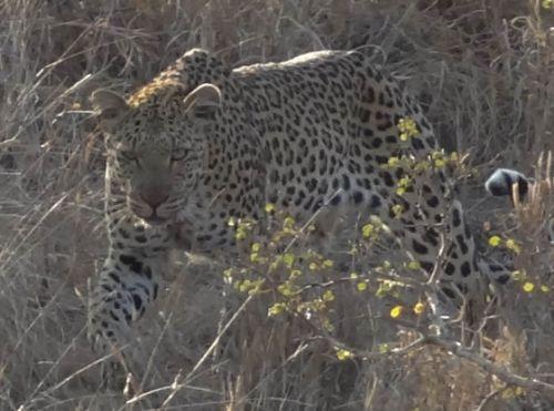 Leopard at Sedumoni Crossing by Jesse Rosenblatt