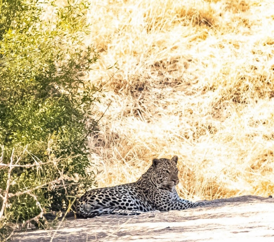 Leopard at The Palms by John B35