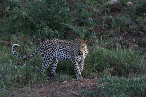 Leopard at Wildebeest dam by Simon B19 (12)