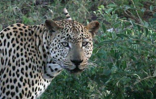 Leopard at Wildebeest dam by Simon B19 (13)