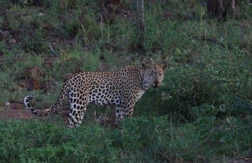 Leopard at Wildebeest dam by Simon B19 (14)