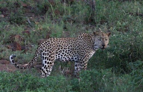 Leopard at Wildebeest dam by Simon B19 (15)