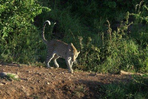 Leopard at Wildebeest dam by Simon B19 (2)