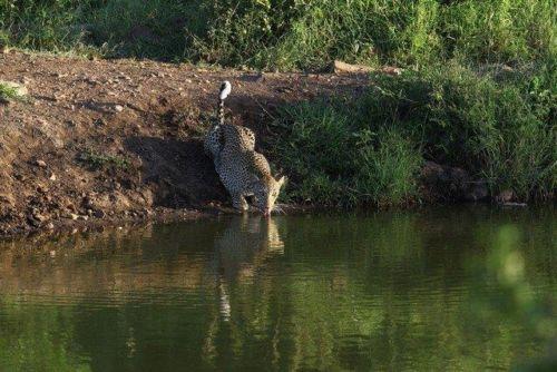 Leopard at Wildebeest dam by Simon B19 (5)
