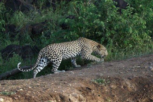 Leopard at Wildebeest dam by Simon B19 (8)