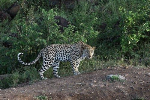 Leopard at Wildebeest dam by Simon B19 (9)