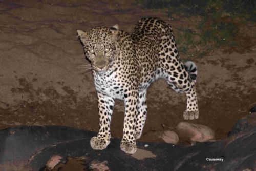 Leopard at causeway by Graham Benfield