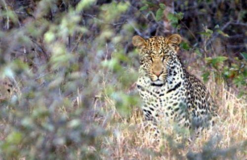 Leopard by Craig Ryall