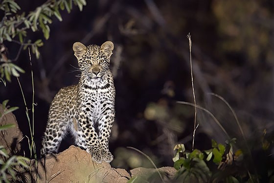 Leopard by Johann B38