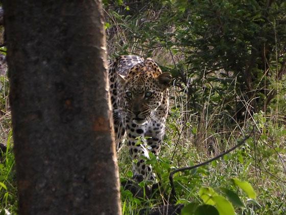 Leopard by Ruthie Schaad B37 (3)