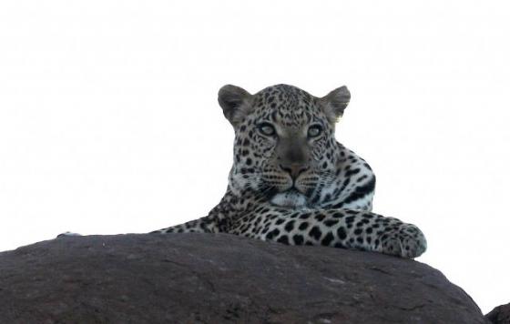 Leopard by Simon B19