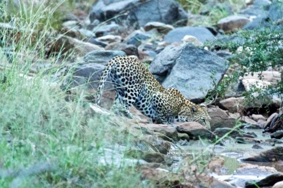 Leopard by Truscott B5