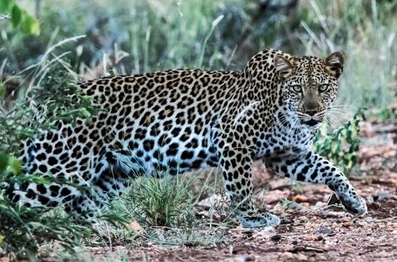 Leopard by Uli A9