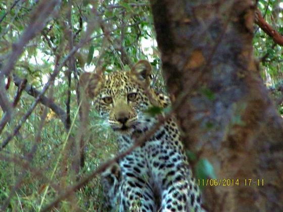 Leopard cub on river loop by Rene Teichman