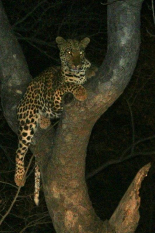 Leopard in driveway to B25 by Teich